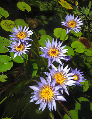 Water Lily Cluster